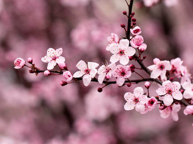 Image of pink cherry blossom